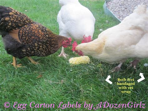 Backyard Chickens Bumblefoot Bumblefoot In Chickens Causes Treatment Warning