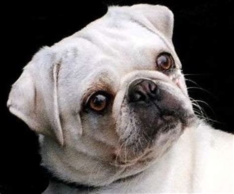 baby white pugs baby white pugs cake ideas and designs