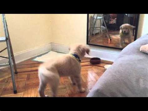 golden retriever praying 11 week lab puppy praying w before dinner funnydog tv