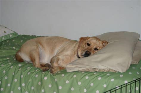 cani a letto far salire il sul letto
