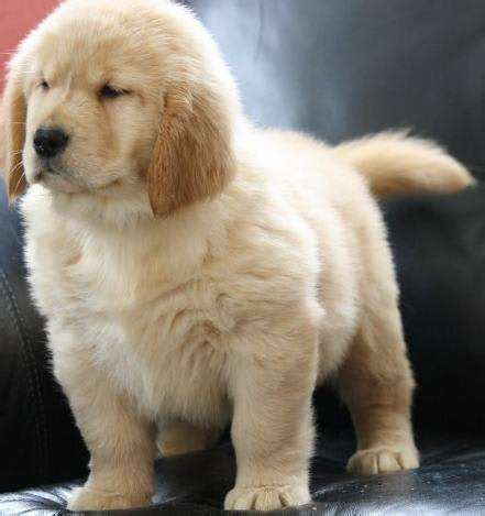 golden retriever puppies for sale adelaide pictures of golden retrievers puppies for sale images