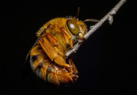 Meet You Australian Native Bees   1 Million Women