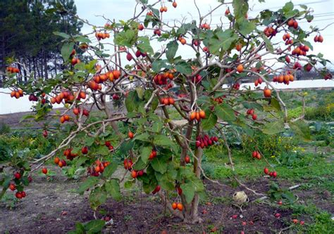 tomato tree rare plants seeds giant panamanian tree tomato panama