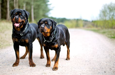 rottweiler rottweiler rottweiler rottweiler breeds breeds picture