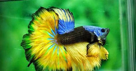 Makanan Ikan Hias Mudah cara mudah budidaya ikan cupang dunia akuarium