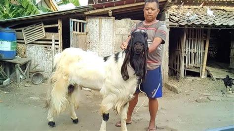 Kambing Etawa Why peternakan kambing kontes pejantan etawa pe kaligesing purworejo