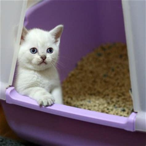 how to litterbox a how to litter box a kitten litter kittens