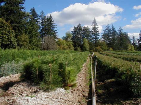 pinus sylvestris scotch pine 2 0 06 quot 12 quot brooks tree