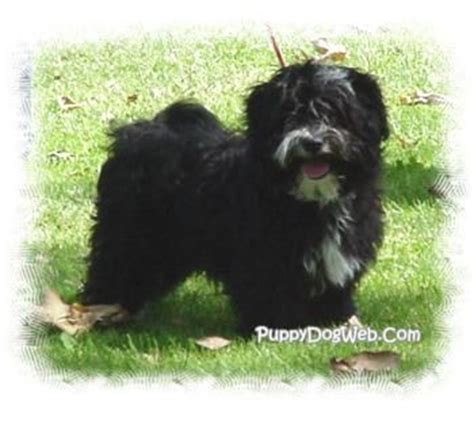 havanese housebreaking problems 17 best images about silk on poodles havanese puppies and