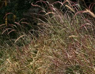 overwintering purple fountain grass bcliving