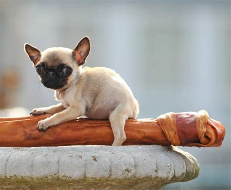 Smallest Dog In The World Breed   Dog : Pet Photos Gallery