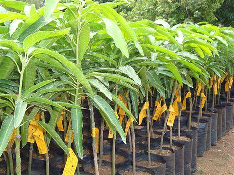 nursery plants image gallery mango plant