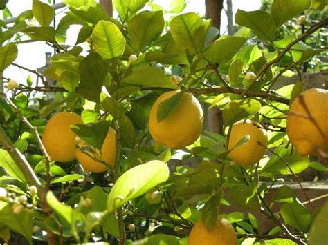 most difficult plants to grow 1000 ideas about lemon tree plants on growing