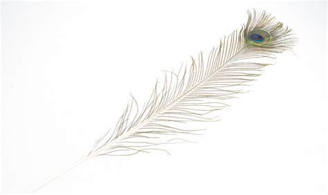 bild pfauenfeder pfauenfeder natur 1 st 252 ck ca 75 90cm