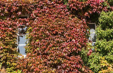 Terrasse Mit Garten 4351 by Efeu Entfernen Auch Bei Nistenden V 246 Geln Garten News