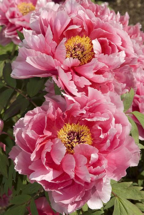 peony the best varieties for your garden books 25 best ideas about tree peony on peony