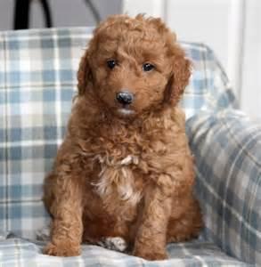 mini goldendoodles new hshire beautiful mini goldendoodle puppies craigspets