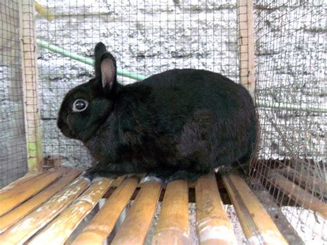 Kelinci Rex Bulu Karpet pembibitan kelinci hias konsumsi kelinci perkelincian