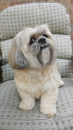 can shih tzu eat tomatoes 1000 images about lhasa apso dogs on lhasa apso lhasa