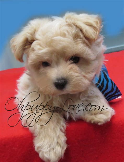 small mixed breed puppies for sale www ohpuppylove breeds morkie shorkie maltipoo poodle mix maltipoos for