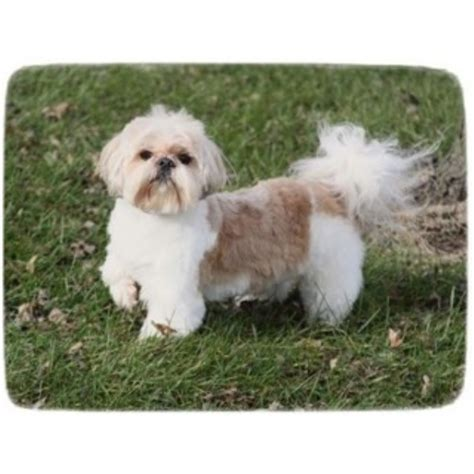 Shih Tzu Breeder In Bainbridge Indiana Breeds Picture