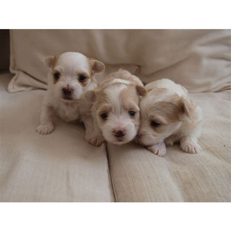 Maltese Puppies For Sale Puppiesforsale