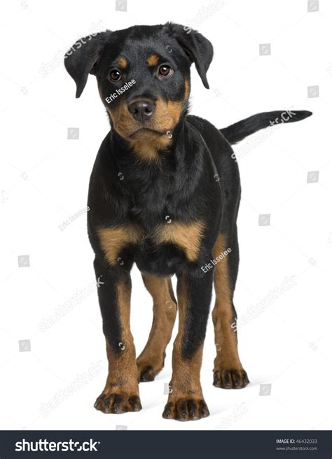 3 month rottweiler rottweiler puppy 3 months standing in front of white background stock photo