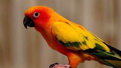 birds parrots sun conure conures wallpaper 1920x1080 61195 wallpaperup
