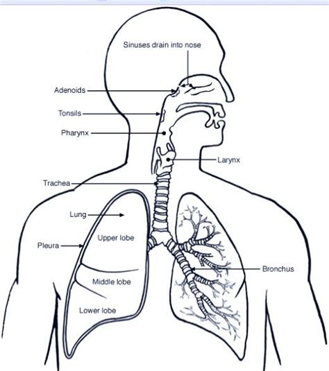 Diagram Respiratory Tract Of Earthworm Human Anatomy Picture Respiratory System Coloring Pages Coloring Home