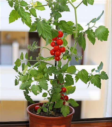 pianta pomodoro in vaso pianta pomodoro in vaso 28 images orto in balcone la