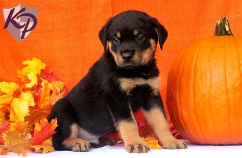 puppies for sale in pa 100 139 best images about l ve rotties on