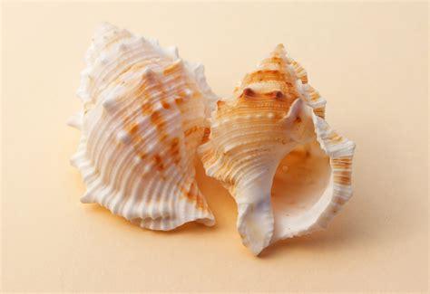 Kulit Kerang Laut gambar makanan laut ikan fauna invertebrata kerang