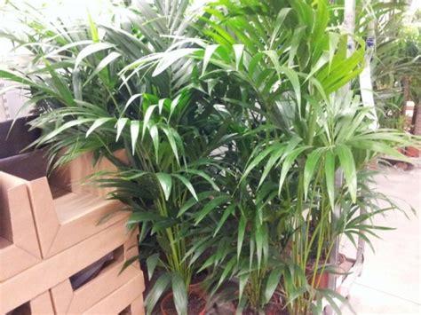 piante palme da giardino palme da appartamento
