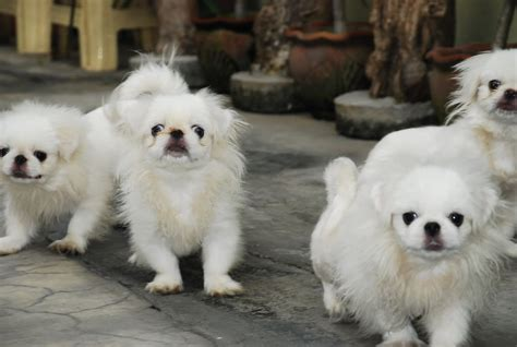 pictures of pekingese puppies puppy image gallery