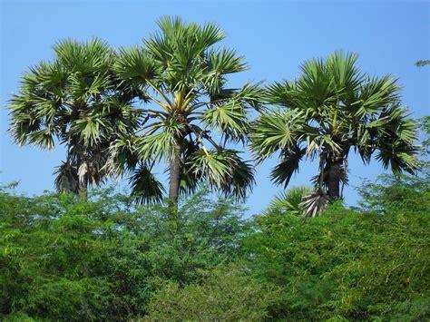 palm tree palmtreedepot retailer of sabal palm tree at carolina