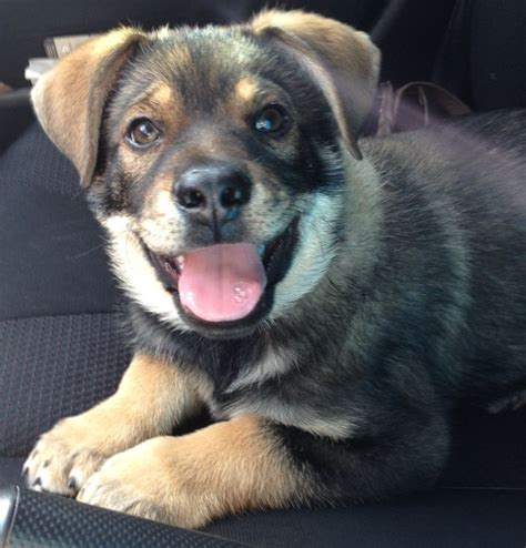 rottweiler heeler mix blue heeler rottweiler mix puppies www imgkid the image kid has it