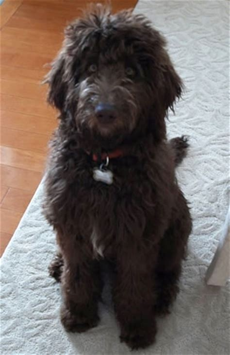 doodle name carla 1000 images about labradoodle haircut on