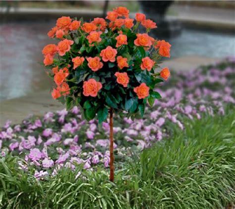 cottage farms roses cottage farms 18 quot sunblaze patio tree qvc