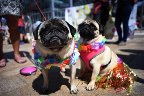 celebrating pugs and pups pug dogs kobi l and attend pugfest manchester