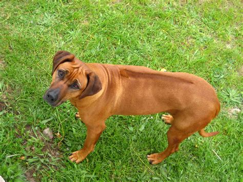 rhodesian puppy africa s dogs rhodesian ridgebacks dublin