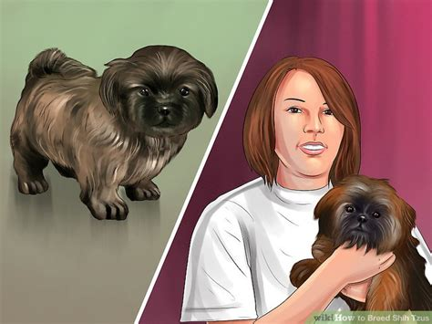 average stud fee for shih tzu how to breed shih tzus with pictures wikihow