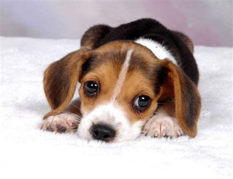 buy beagle puppy beagle puppies beagle pictures beagle puppies pictures breeds picture