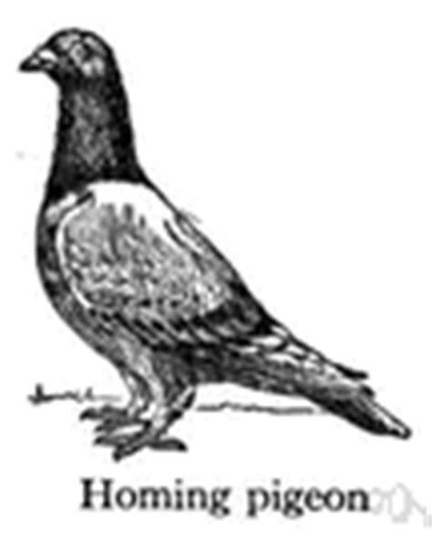 pigeon define pigeon at dictionarycom invitations