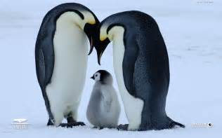 Cute baby penguins 10968 hd wallpapers baby penguin wallpaper
