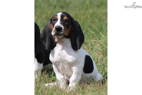 basset hound puppies for sale in michigan basset hound puppy for sale near grand rapids michigan 37beab5a 13e1