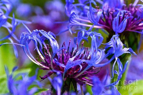 cornflower color cornflower color photograph by byron varvarigos