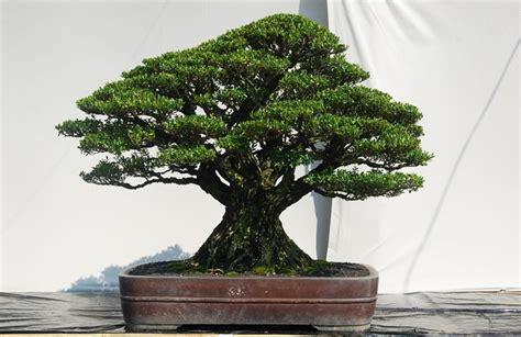 Sho Ginseng Rudy indon 233 sia bonsai show 2010 aido bonsai