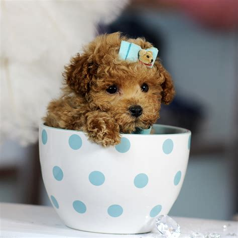 boutique puppies teacup puppies store luxury puppy boutique supplies and accessories