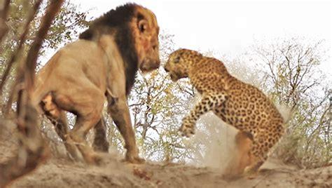 Kalung Leopard predators of a best 2017