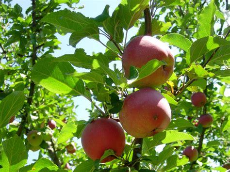 apfelbaum im garten ferienwohnung im 214 tztal g 228 stehaus edelweiss 214 tztal